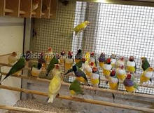 Live Canary Birds, Yorkshire, Lancashire,Finches, Lovebirds and others
