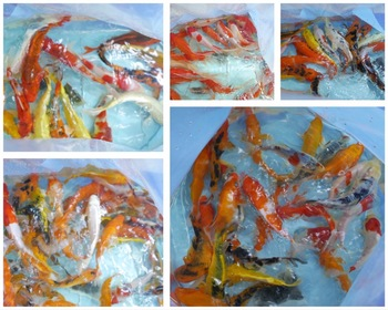 Assorted koi carp fish for sale