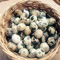 Healthy Top Graded Quail egg for Sale