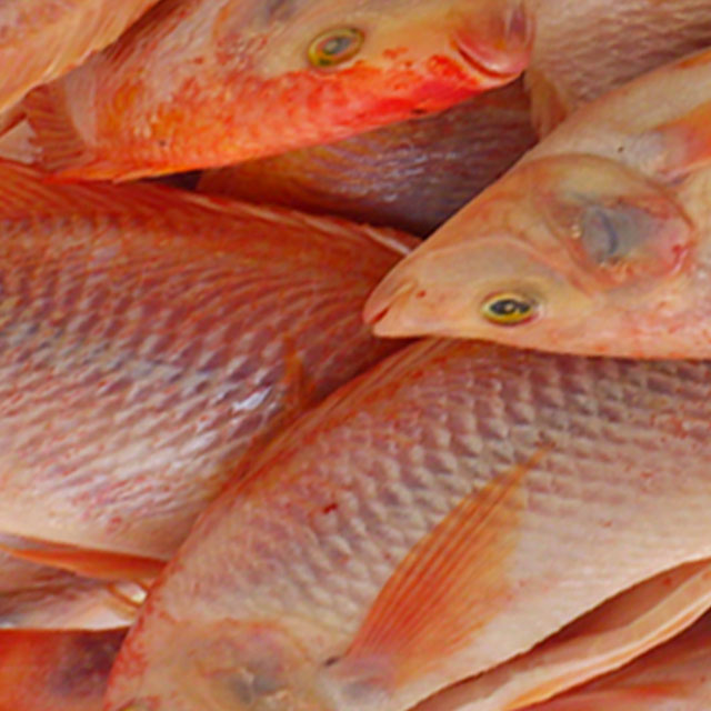 Hot Selling Piece Shape IQF Frozen Fish Gutted Scaled GS Red Tilapia With Weight 10kg From Vietnam
