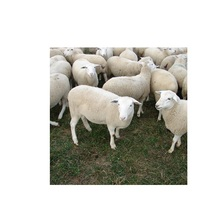 Merino Sheep <span class=keywords><strong>Domba</strong></span>/Live Merino Sheep <span class=keywords><strong>Harga</strong></span> Grosir