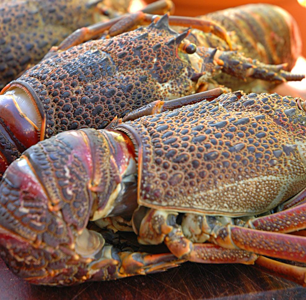 Cape Frozen Whole Rock Lobster