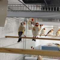 Buy Goldfinches mutated Birds/yorkshire/zebra/live canary birds