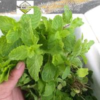 FRESH MINT - Competitive price from Vietnam