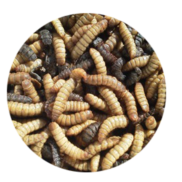 Black Soldier Fly - Dried Black Soldier Fly Larvae (84 237 8655 789)